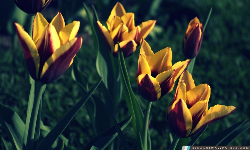 tulipes  printemps  fond d u0026 39  u00e9cran hd  u00e0 t u00e9l u00e9charger