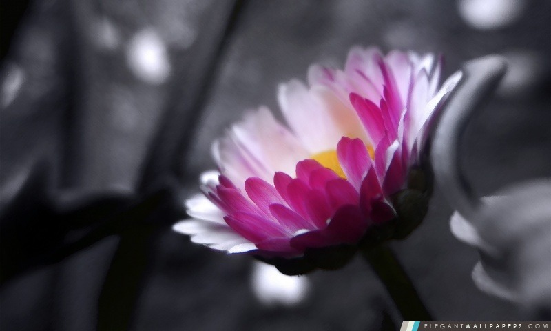 Fleur Rose Sur Fond Noir Et Blanc Fond D Ecran Hd A Telecharger