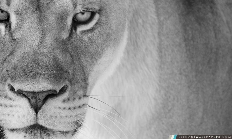 Mère Lion Fond Décran Hd à Télécharger Elegant Wallpapers