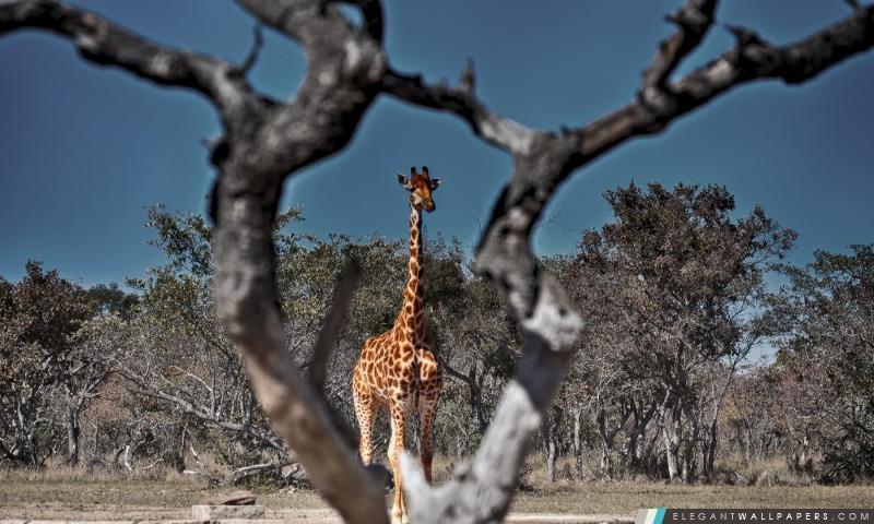Encadr e girafe fond d 39 cran hd t l charger elegant - Girafe dans madagascar ...
