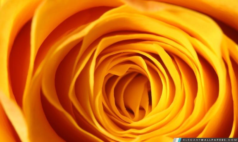 Rose jaune Makro, Arrière-plans HD à télécharger