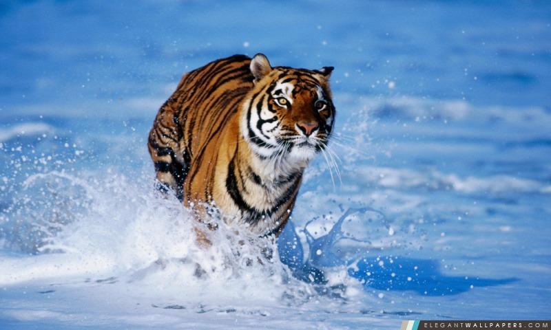 Bengal Tiger Panthera tigris Tigre, Arrière-plans HD à télécharger