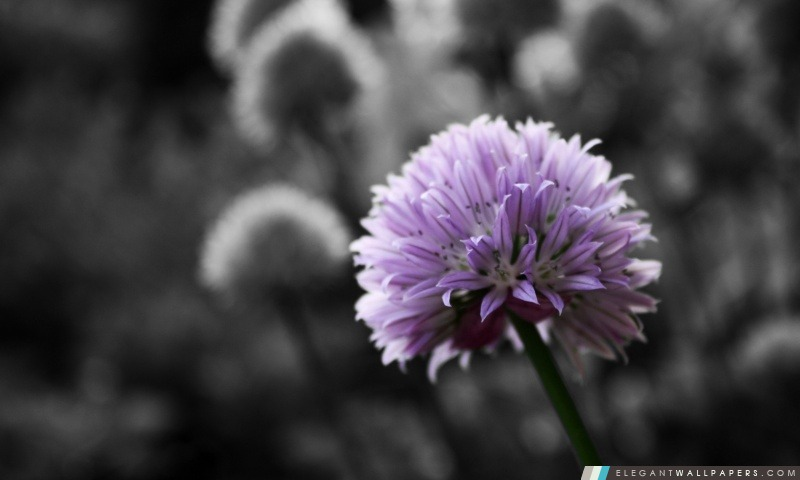 Fleur Pourpre Sur Fond Noir Et Blanc Fond D Ecran Hd A Telecharger