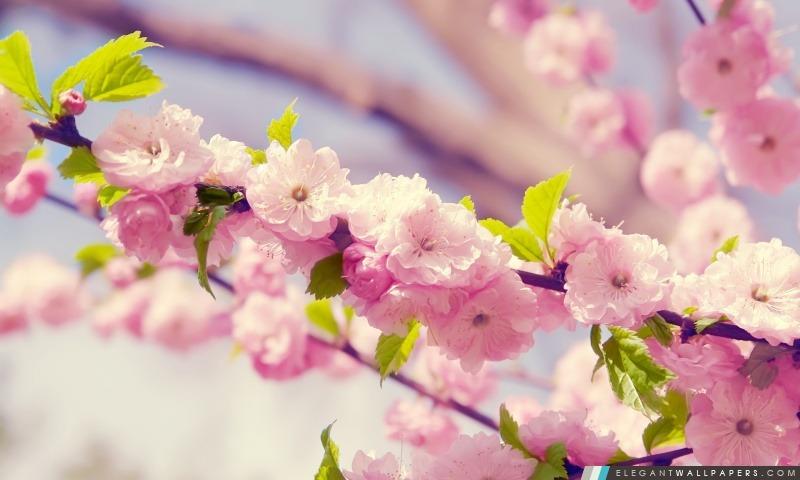 Cerisier Japonais Fond D Ecran Hd A Telecharger Elegant Wallpapers