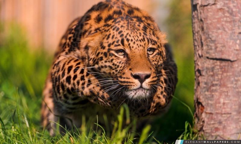Leopard course, Arrière-plans HD à télécharger