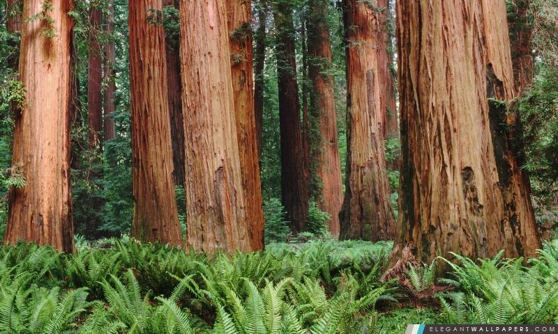 Redwoods, Arrière-plans HD à télécharger
