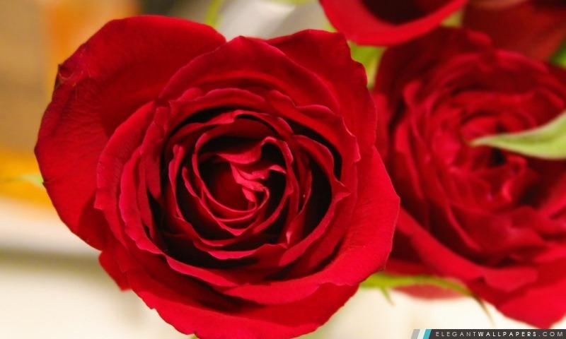 Rose, Arrière-plans HD à télécharger