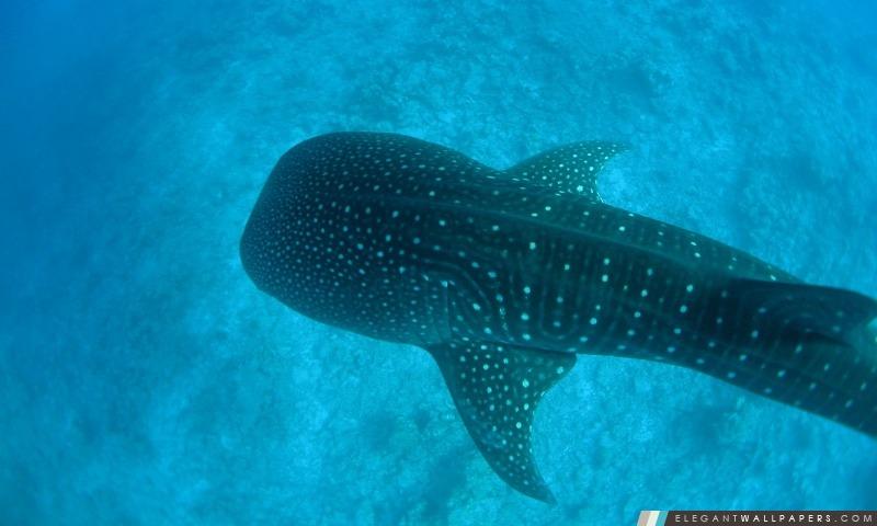 Requin Baleine Fond D écran Hd à Télécharger Elegant