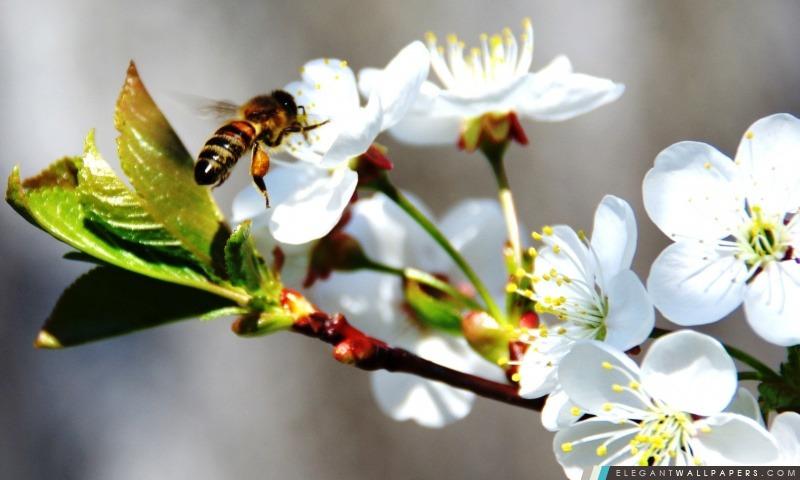 abeille sur fleurs de printemps  fond d u0026 39  u00e9cran hd  u00e0 t u00e9l u00e9charger