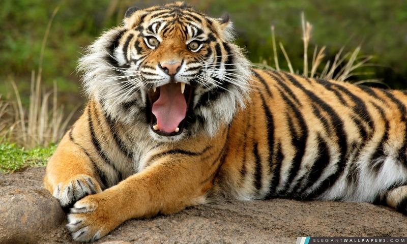 Tigre, Arrière-plans HD à télécharger