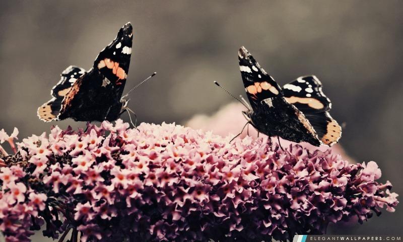 Deux beaux papillons, Arrière-plans HD à télécharger