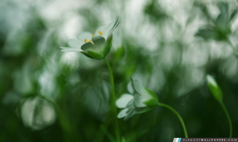 Blanc Petite Fleur, Blur, Arrière-plans HD à télécharger