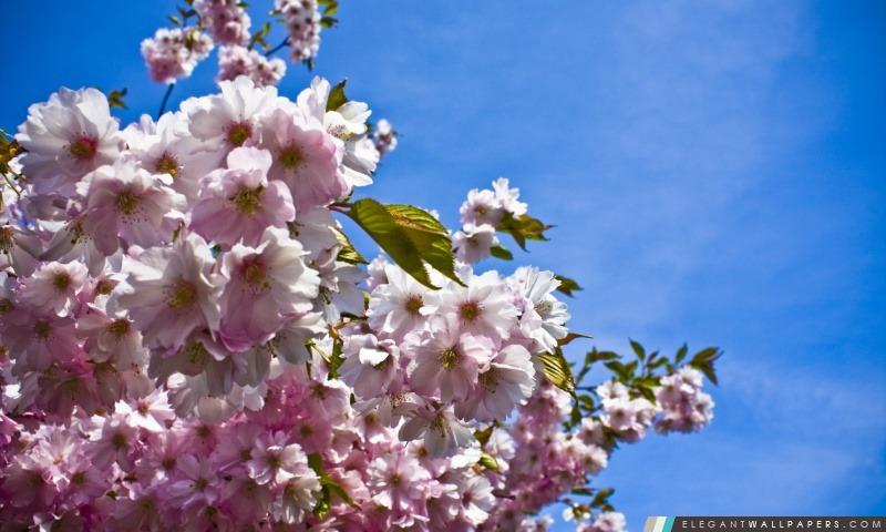 Soft Pink Fleur De Cerisier Japonais Fond D Ecran Hd A Telecharger