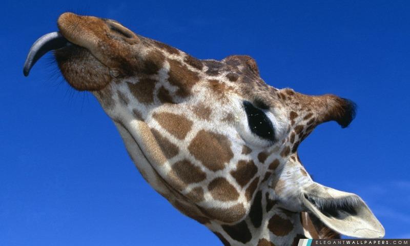 Girafe dr le collant sa langue fond d 39 cran hd - Girafe dans madagascar ...