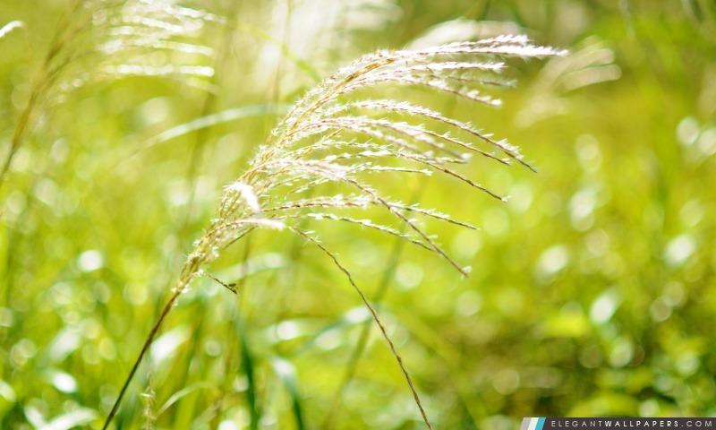 Japonais herbe des pampas, Arrière-plans HD à télécharger