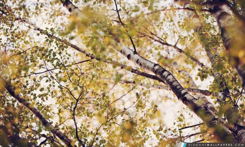 foto de Branches de bouleau Fond d'écran HD à télécharger