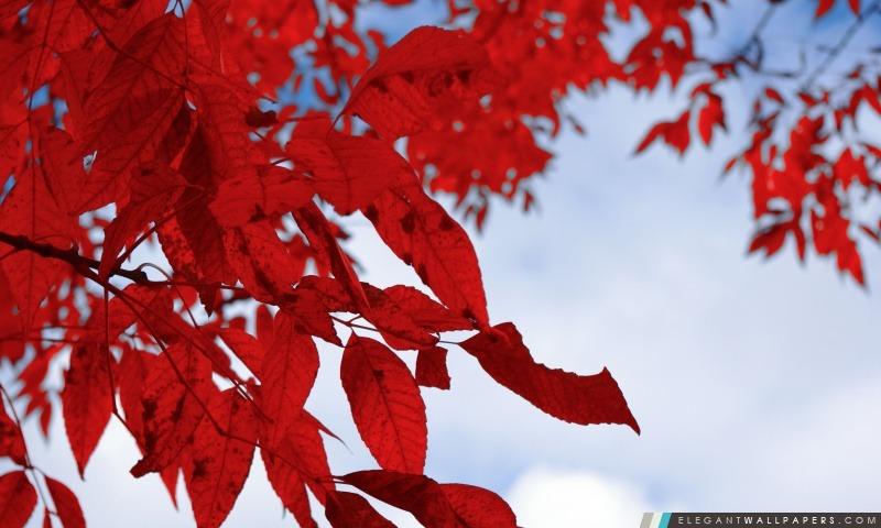 foto de Feuillage rouge automne Fond d'écran HD à télécharger