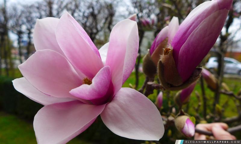 Arbre de magnolia, Arrière-plans HD à télécharger