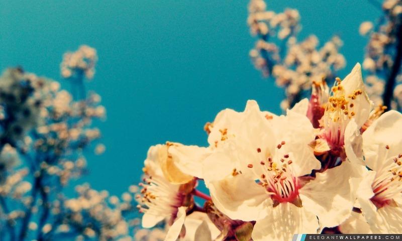 Fleurs de cerisier 1, Arrière-plans HD à télécharger